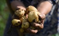 【巴山公社】恩施土豆基地2000余亩,日发货量8000单以上,欢迎对接合作!