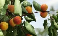 【陕西老树曹杏】最古老的杏品种之一,香味浓郁,口感丰富,欢迎各大渠道对接