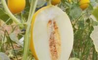 【瓜中贵族 黄金爆汁蜜瓜】国产高端蜜瓜,支持一件代发,欢迎线上和线下各渠道对接!