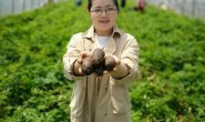 【黑金刚黑土豆】今年黑土豆品质很好,薯形漂亮,支持一件代发,落地配,整车发货等