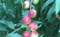 【蜂蜜桃 油小蜜桃20甜度】支持全国一件代发、落地配以及整车发货,欢迎对接
