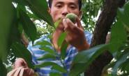 【巫山脆李】恩施土豆基地2000余亩,500亩巫山脆李基地和秭归脐橙基地!