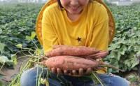 【杨淘新农】2000亩原种烟薯,支持落地配、一件代发!欢迎批发商、团购、微商团队接洽