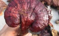 【景语菇:赤灵芝】来自景语菇产地的伏牛山深山区,山里直供。欢迎大家来聊!
