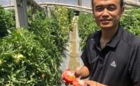 【新疆沙瓤西红柿】目前日发货量1000+,提供大宗批发、落地配、一件代发