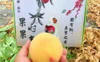【安徽砀山:黄桃】产量大几百至千亩,日均供货5000,精品一级果已采摘发货