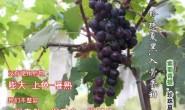 【美地小农】国产高端车车厘子、水蜜桃、高端葡萄,提供一件代发服务,欢迎对接