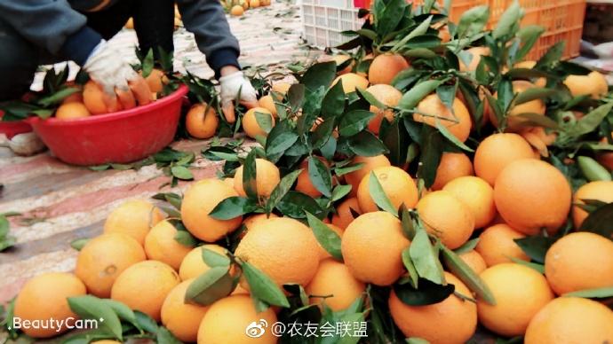 赣南伦晚带叶鲜橙