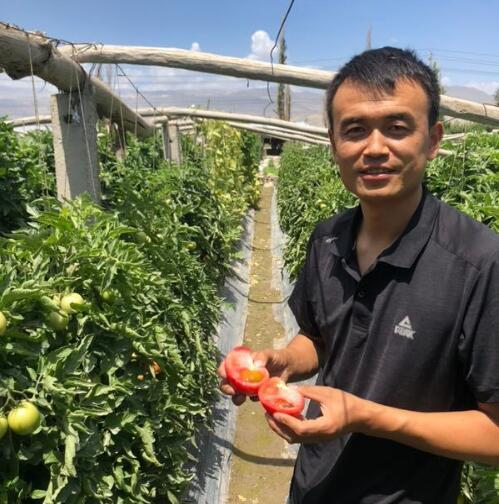新疆沙瓤西红柿